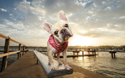 Nori the Frenchie – Dogs of Sydney