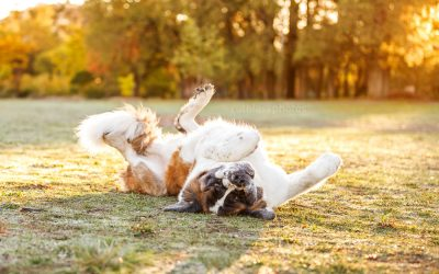 Donny the Saint Bernard – Canberra Dog Photos