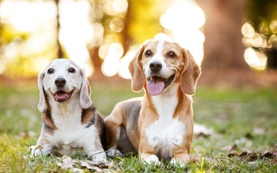 Bella & Bruno the Beagles – Sydney Dog Pics