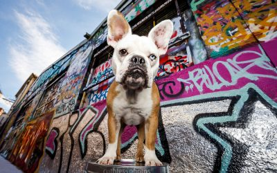 Zidane the Frenchie – Dogs of Sydney