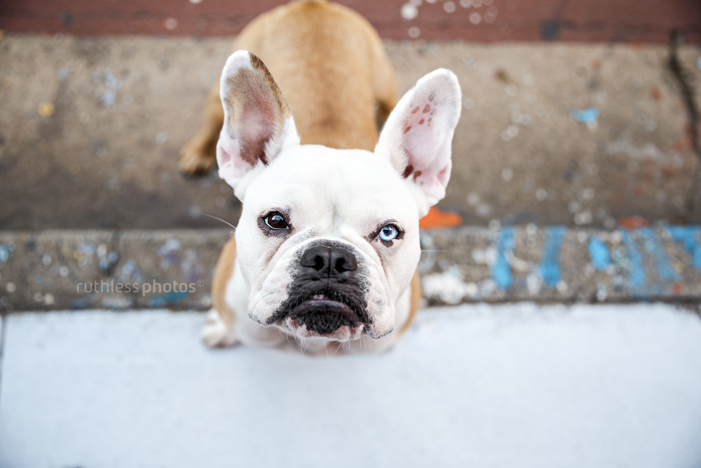 frenchie standing on sidewalk looking up at camera