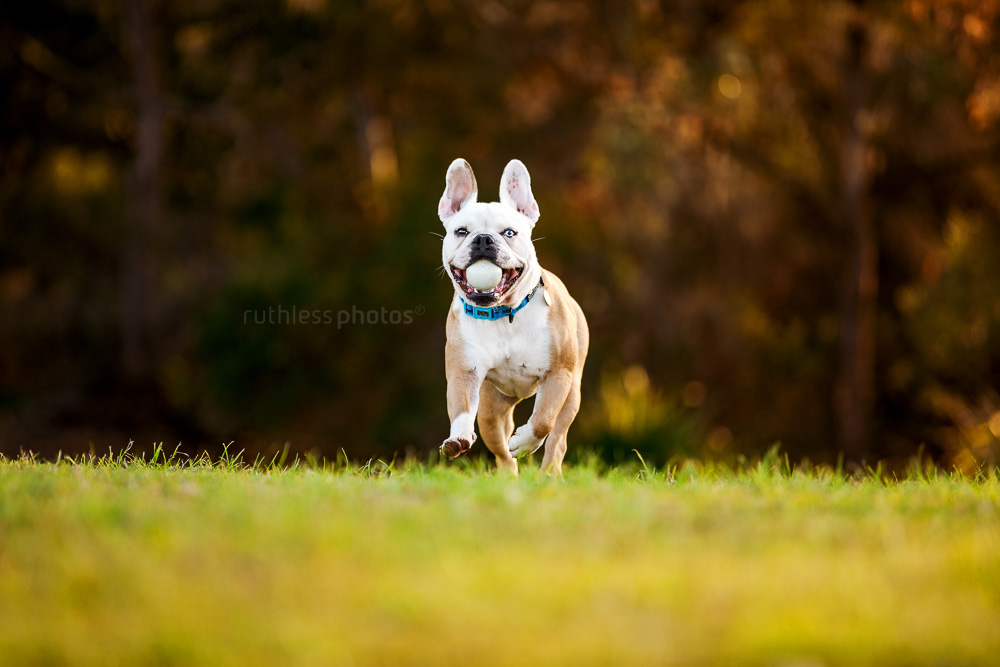 frenchie running in park with ball in mouth
