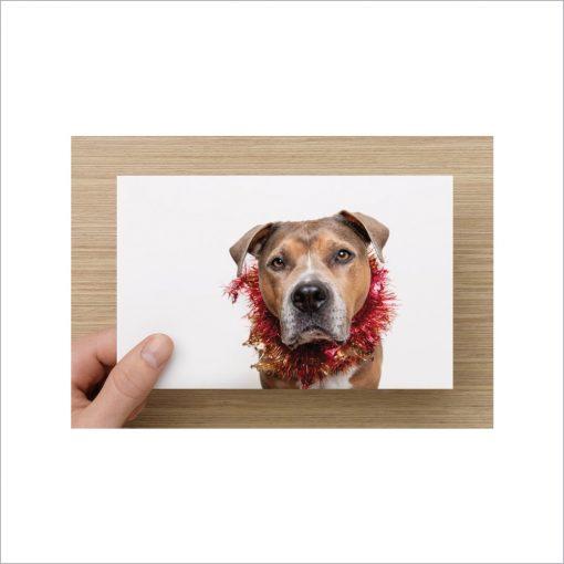 amstaff pit bull christmas card