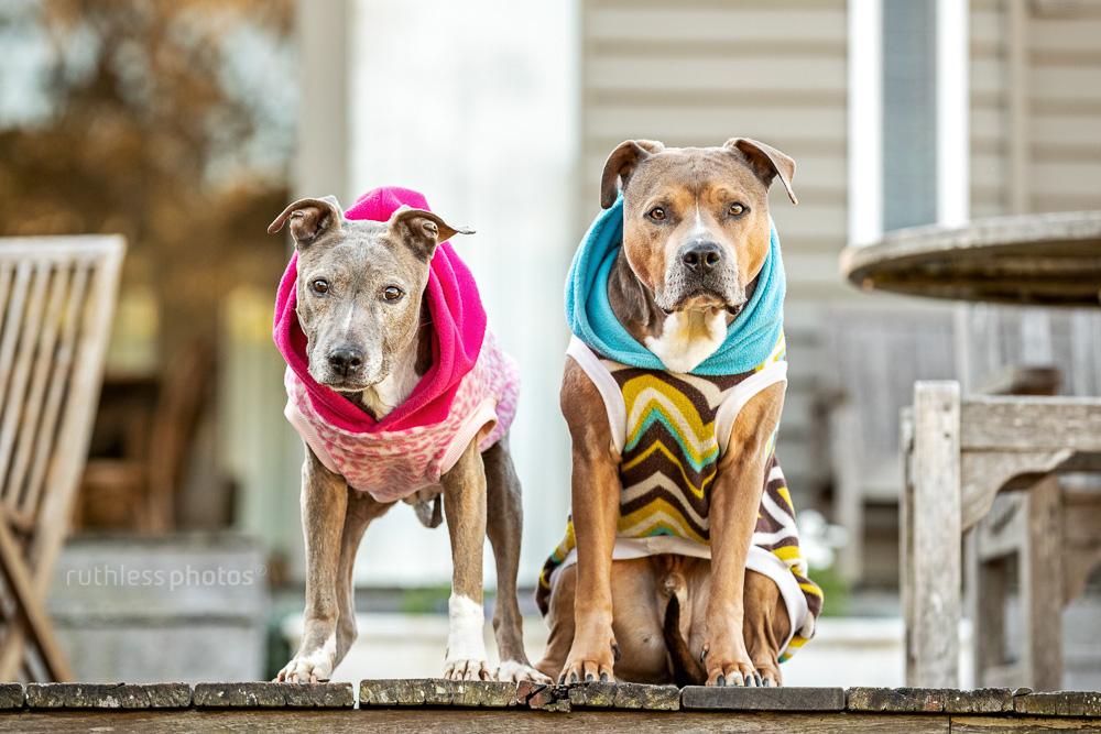 two american staffordshire terriers wearing hoodies