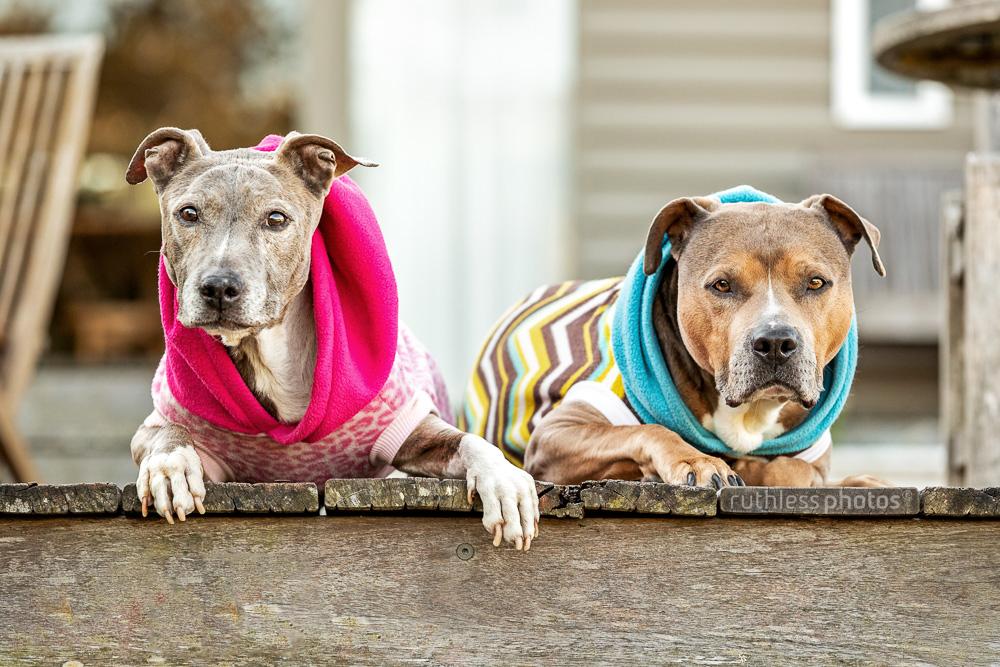 two pit bulls wearing hoodies