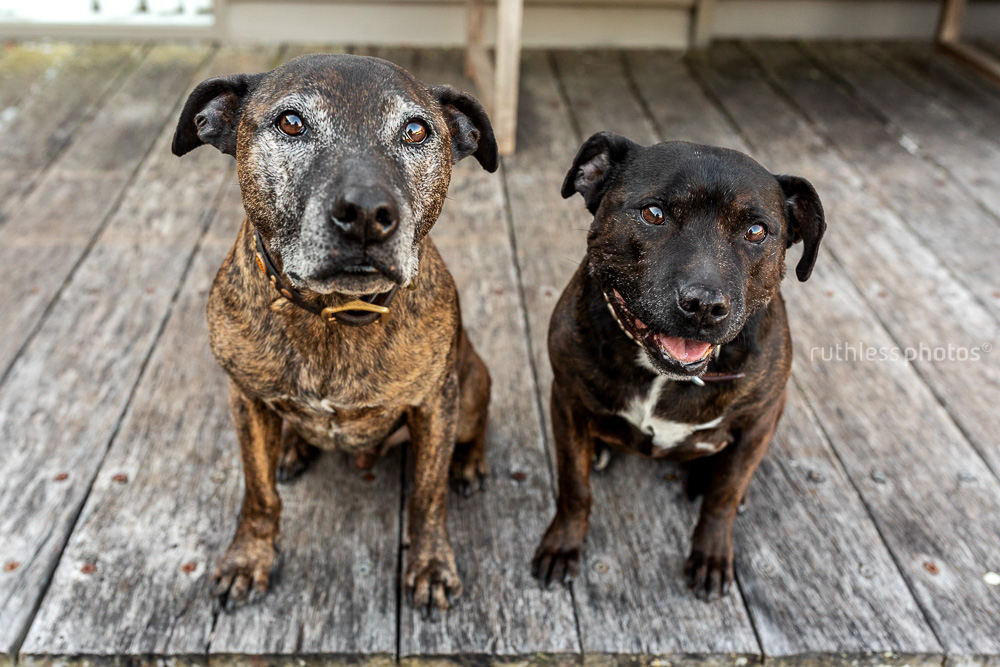 two old rescue staffies sitting on a wooden deck looking up at the camera