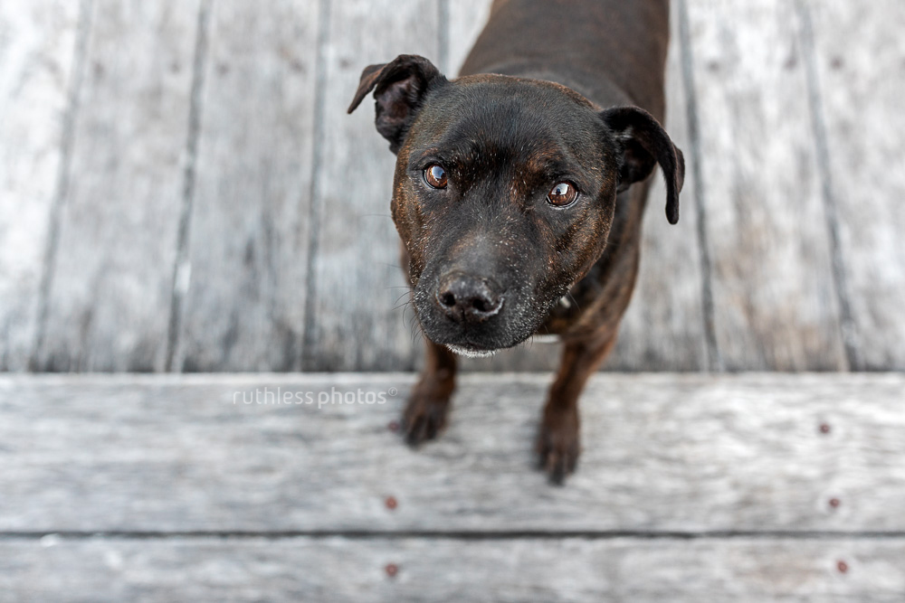 little old black staffy looking up at camera