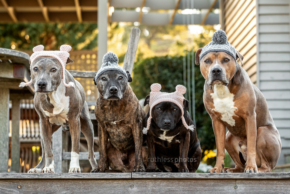 pack of pit bull type dogs in woolly winter hats