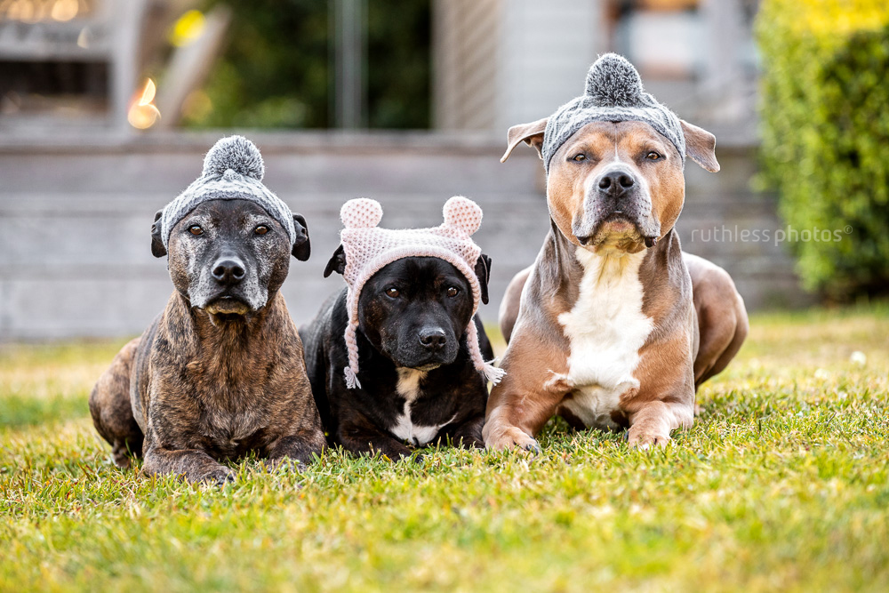 three pit bull type dogs in woolly winter hats