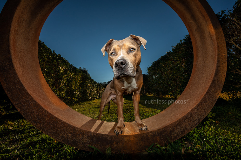 wide angle with flash pit bull type dog blue sky