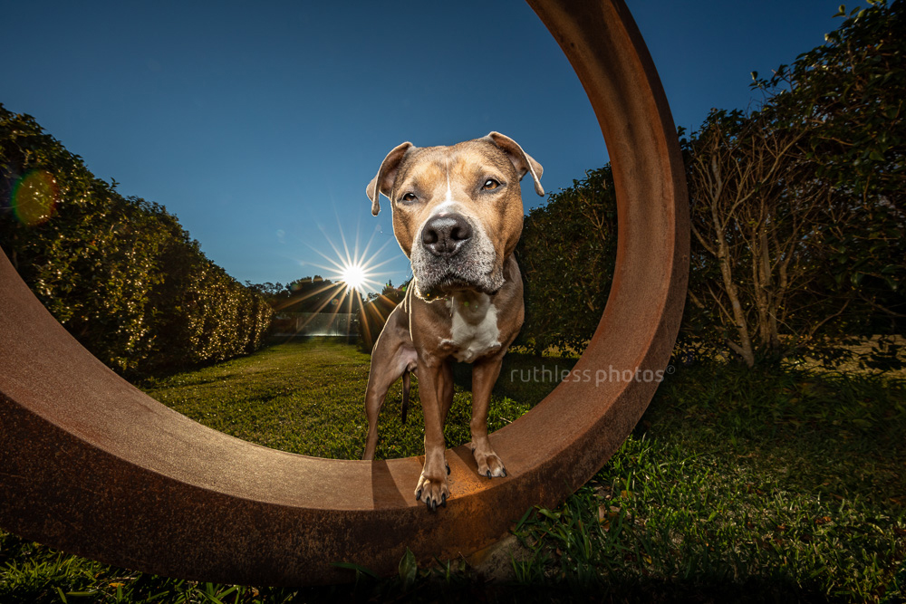 wide angle with flash pit bull type dog blue sky and lens flare