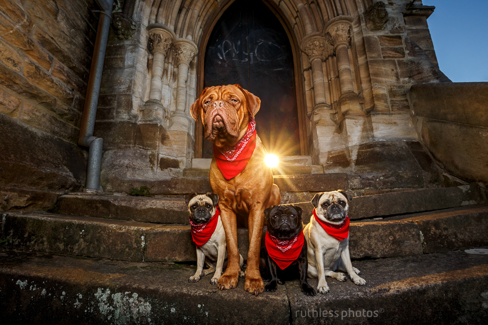 dogue de bordeaux and three pugs wearing red bandanas