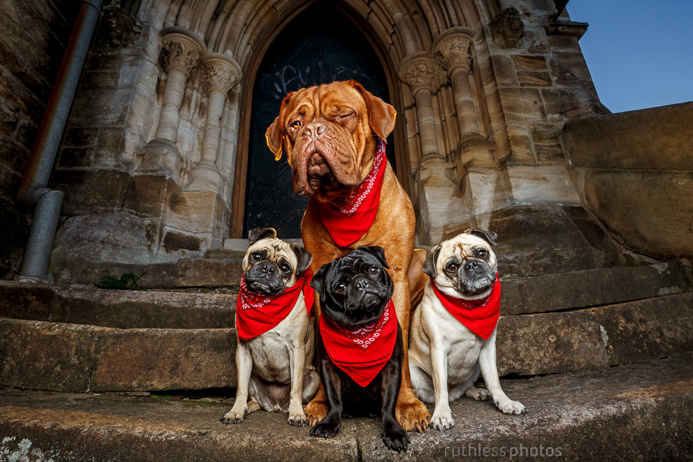 dogue de bordeaux and three pugs wearing red bandanas sitting on the steps of an old church