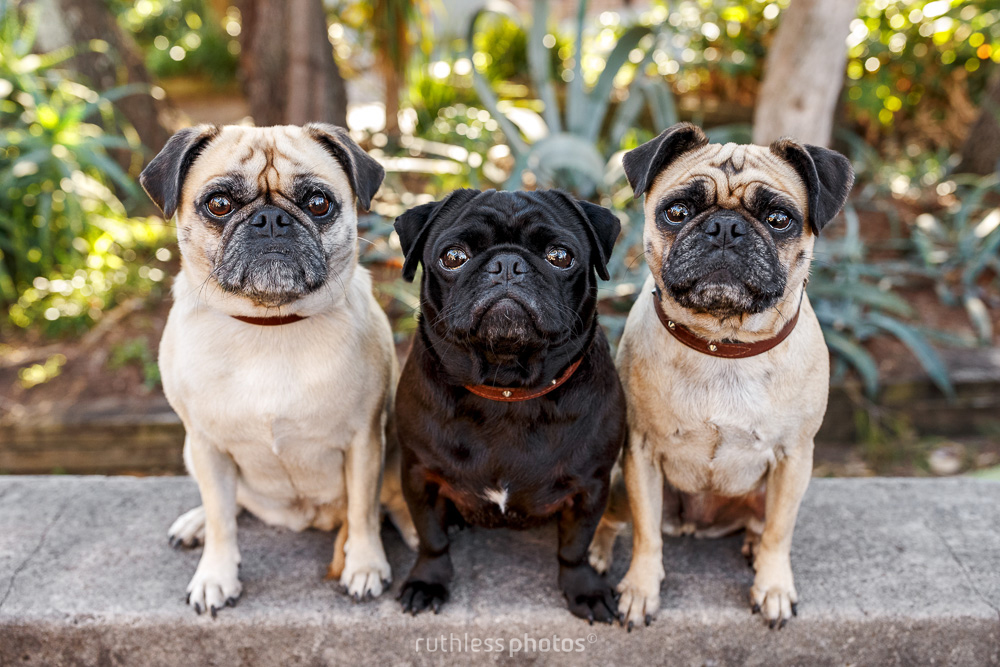 three pugs sitting on a wall
