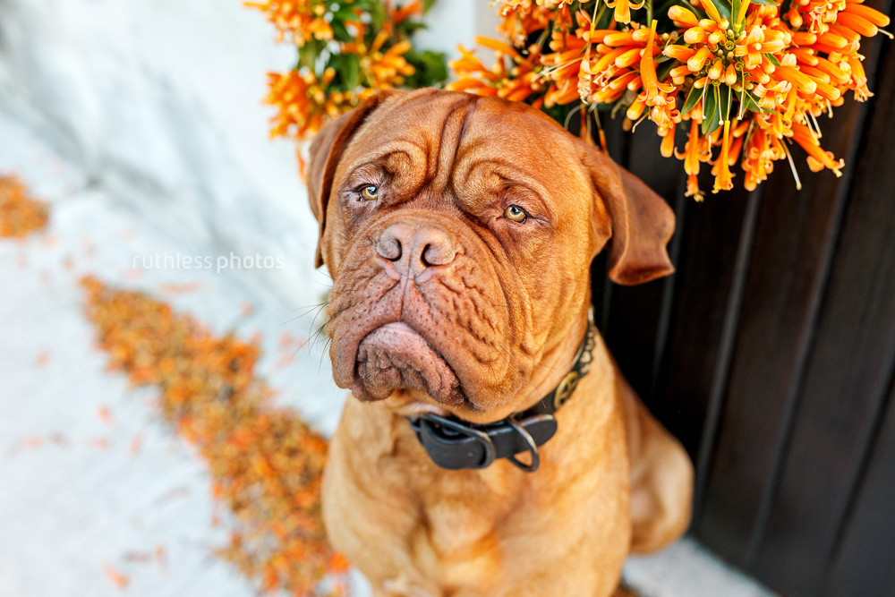 grumpy looking mastiff giant breed dog