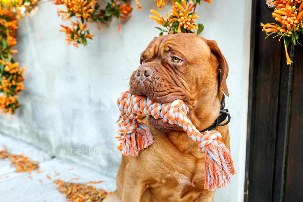 dogue de bordeaux with rope toy in mouth