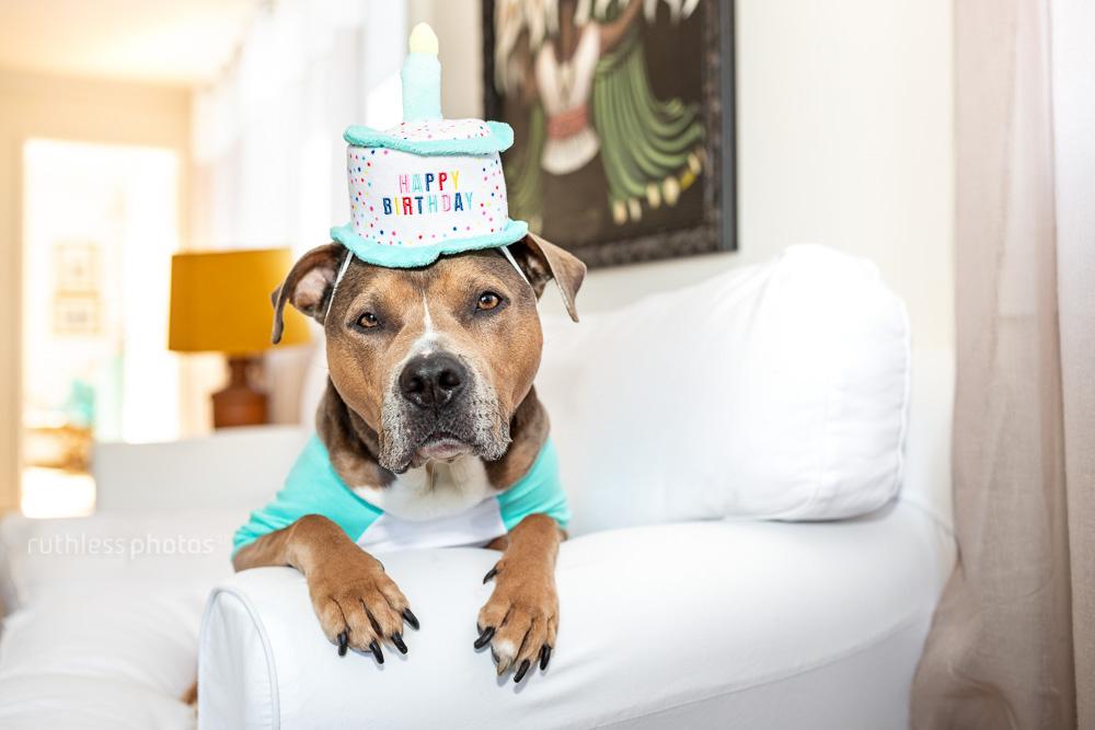 pit bull type dog wearing a happy birthday cake hat