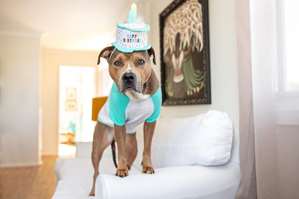 staffy type dog wearing a happy birthday cake costume