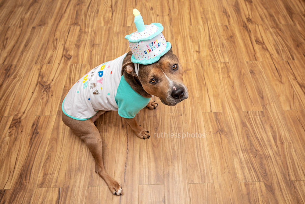 pit bull type dog wearing a happy birthday cake hat and tshirt