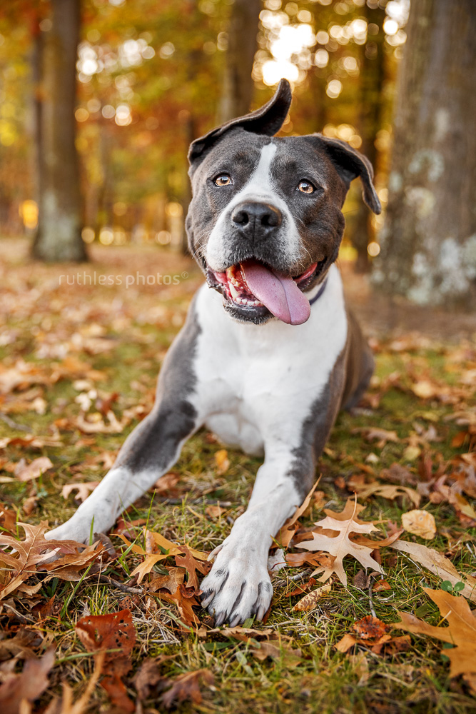 blue and white rescue amstaff lying in autumn leaves with funny ear