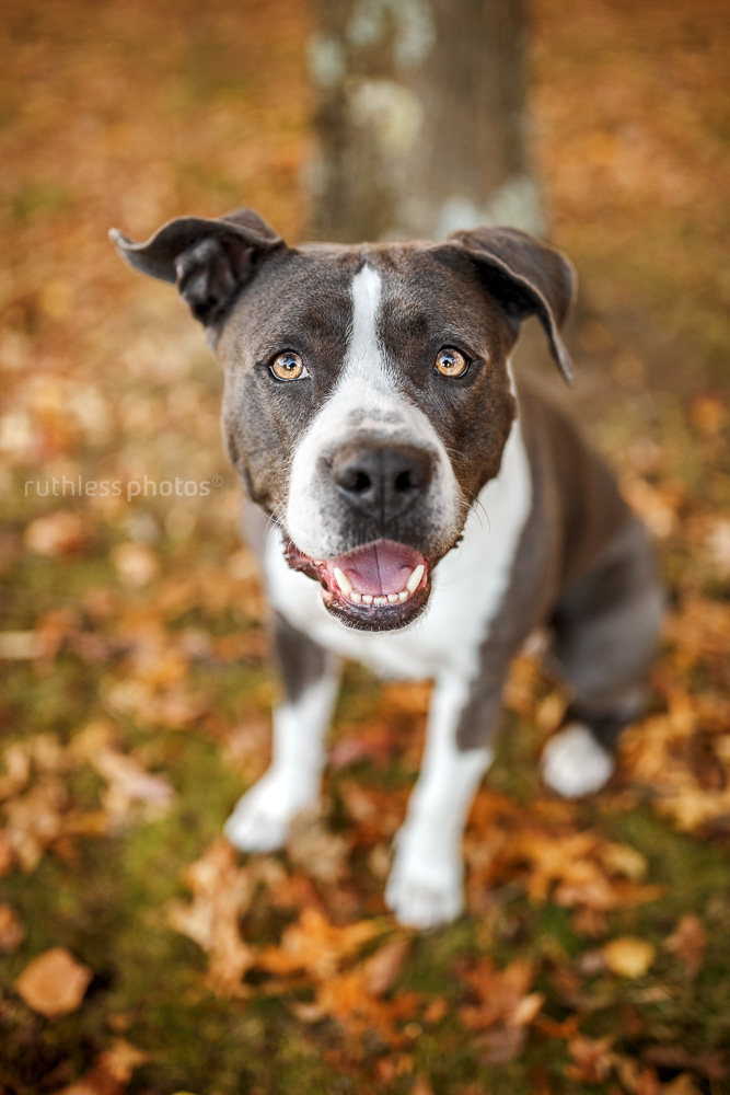 happy rescue pitbull type sitting in autumn leaves looking up at camera