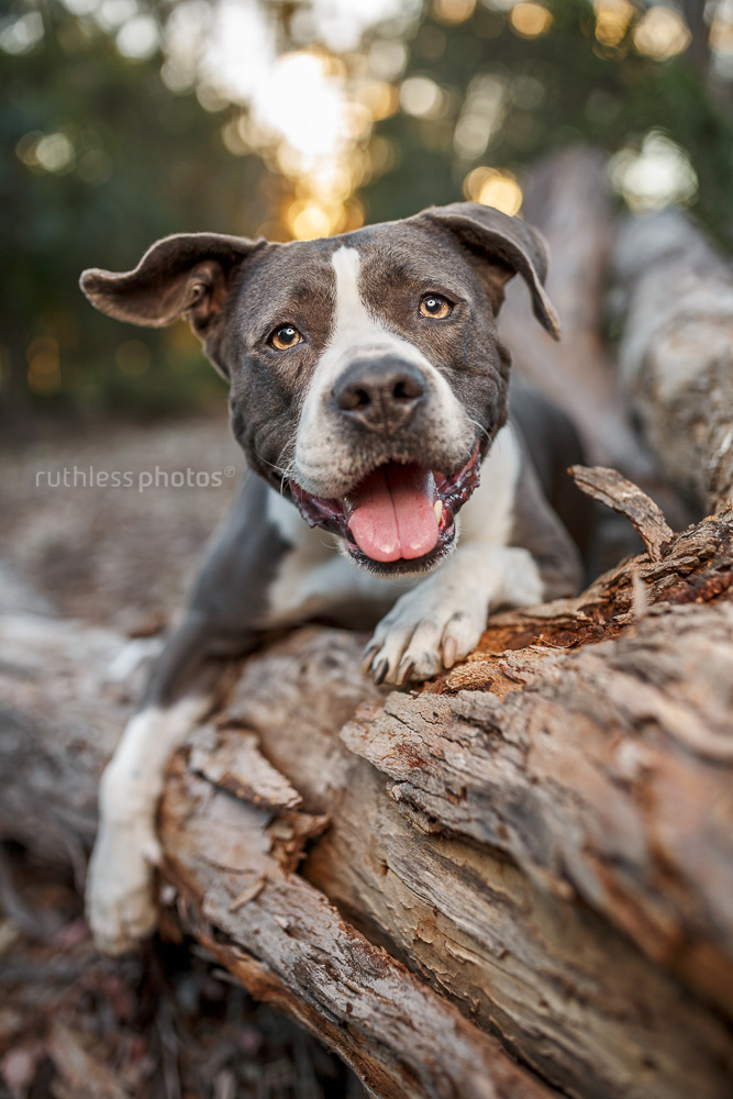 happy rescue blockhead lying in a log at sunset