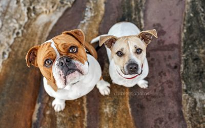 Buddy and Bentley – Sydney Dog Photographer