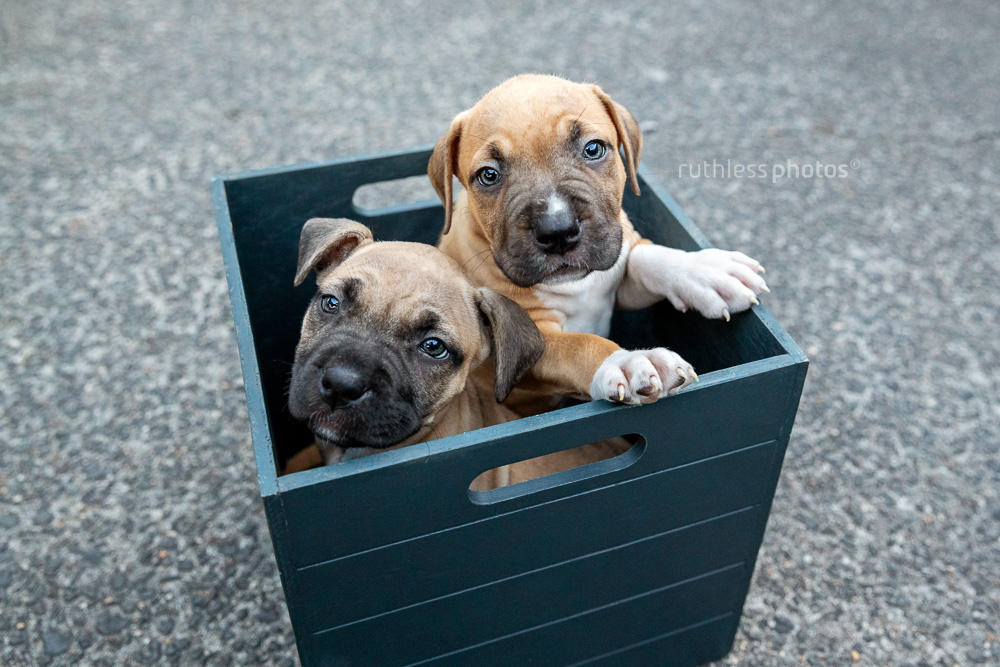 two staffy puppies in a box