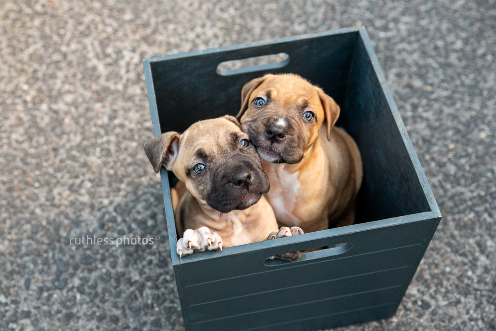 two pit bull puppies in a box