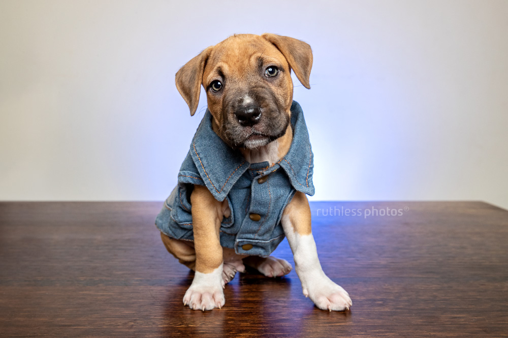 cute puppy in denim vest