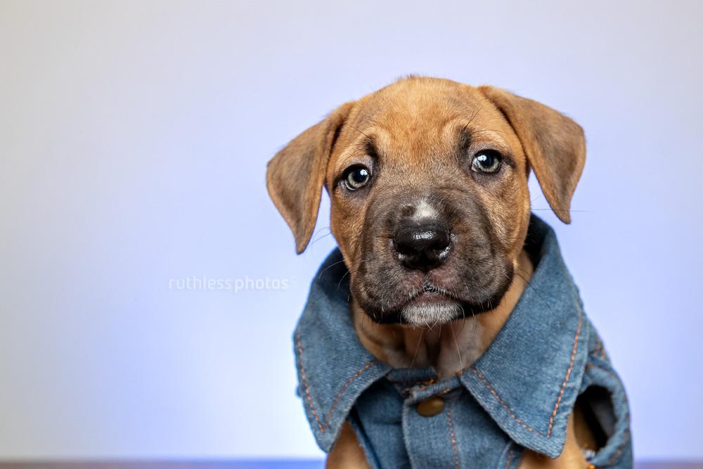 cute pitbull puppy in denim vest