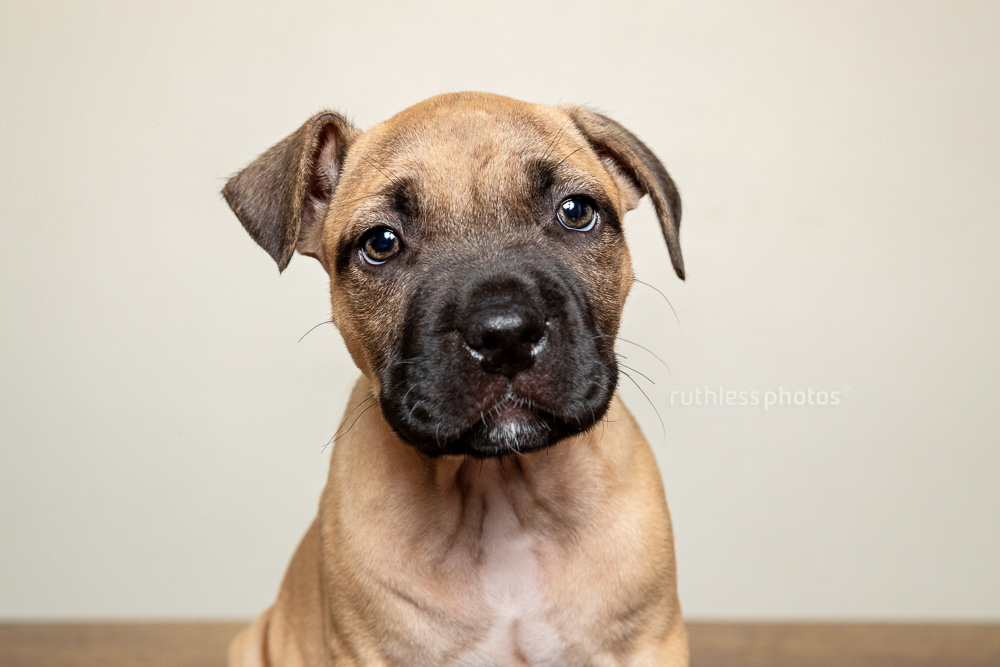 headshot of amstaff puppy with bad ears