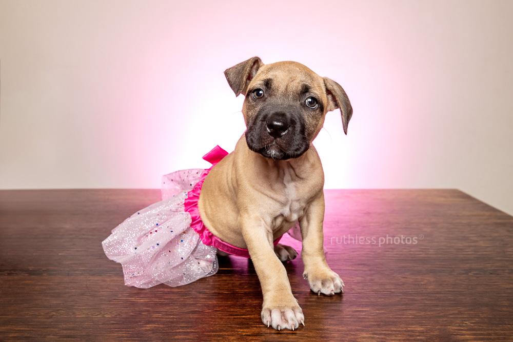 pitbull pup in a pink tutu