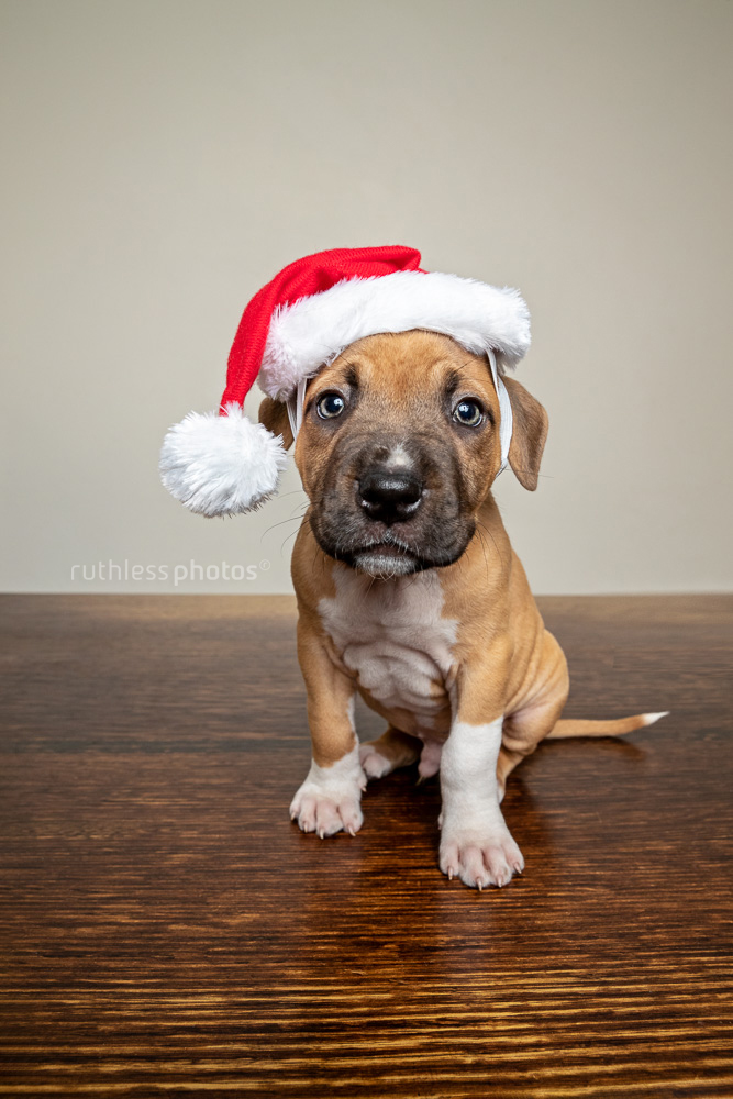 pit bull puppy sitting on wooden table wearing Santa hat