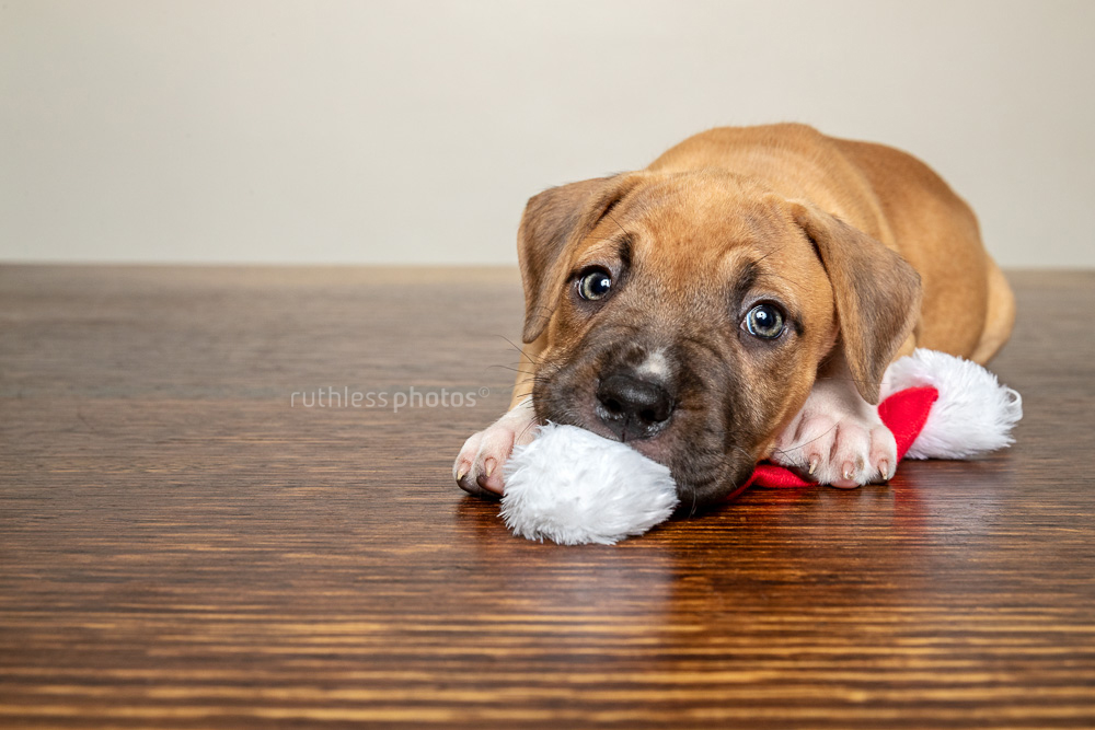 pit bull puppy lying on wooden table chewing on Santa hat