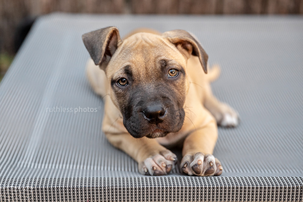 amstaff puppy with funny ears lying on trampoline bed