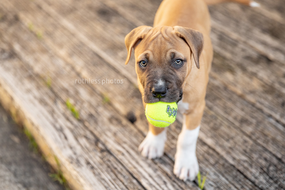 red amstaff puppy standing with small tennis ball in his mouth