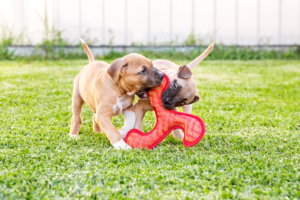 two puppies playing with a red toy