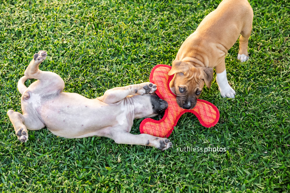 two puppies playing with an red toy on green grass