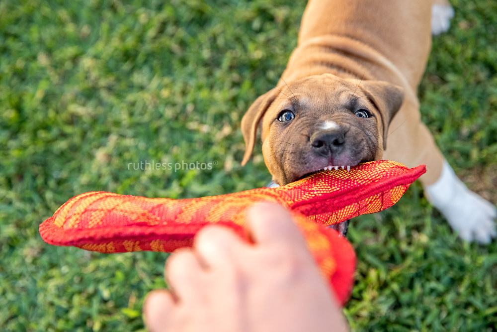 pit bull puppy tugging on a red toy shark teeth