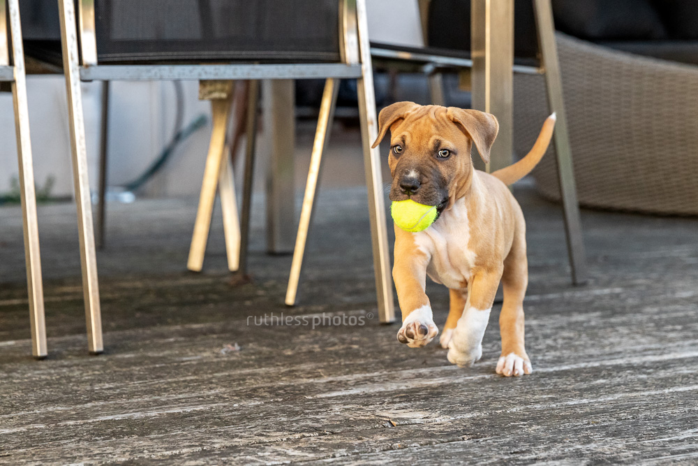 red pit bull puppy running with small tennis ball