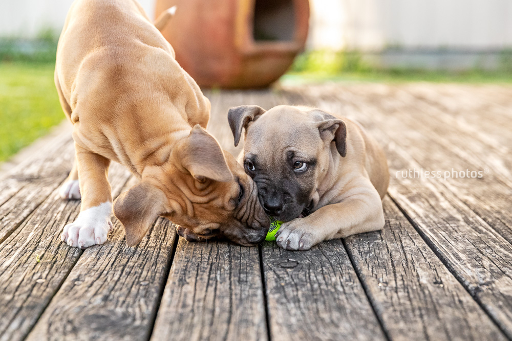 one puppy trying to steal ball from the other