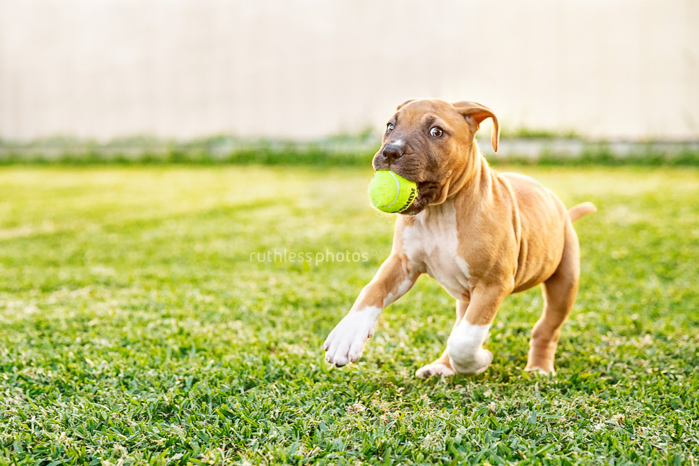 red amstaff puppy running with small tennis ball