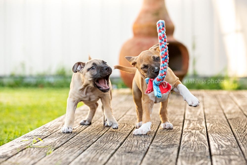 two puppies playing with a tug toy