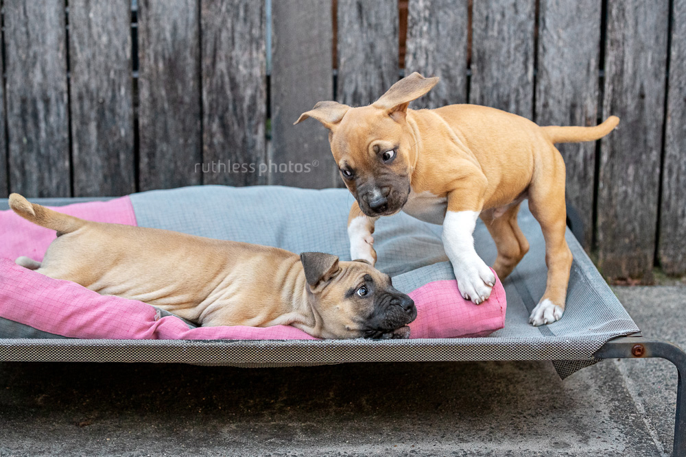 two pit bull puppies play fighting