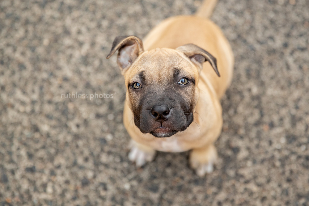 fawn amstaff puppy with funny ears sitting on concrete looking up