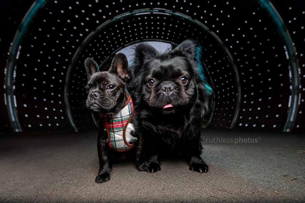 two french bulldogs in a dark tunnel