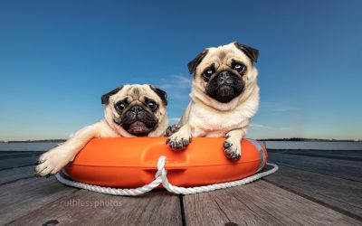 Biscuit and Pikelet the Pugs – Squishy Face Crew