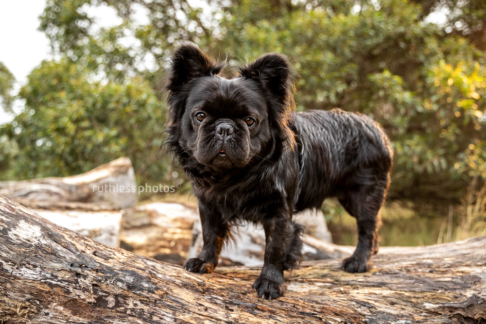 long haired french bulldog standing on log