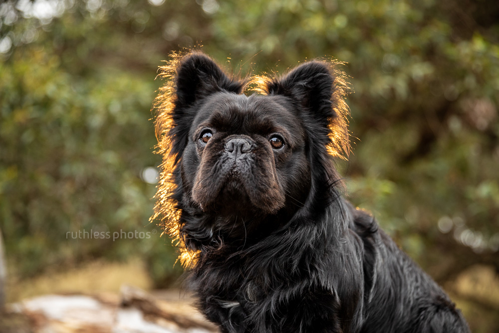 long haired french bulldog headshot outdoors